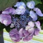 Hortensia of hydrangea