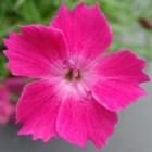 Dianthus Kahori: geurende bloemen, groenblijvend, winterhard