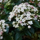 Viburnum Tinus: Verzorging, standplaats, bloei