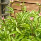 De pioenroos, een rijk bloeiende vaste plant
