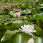 Naar plantdiepte ingedeelde waterplanten