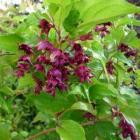 Leycesteria, een aanwinst voor iedere tuin