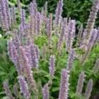 Lang bloeiende vaste planten