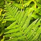 Varens in de tuin, planten en verzorgen
