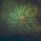 Coniferen planten en verzorgen in uw tuin