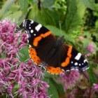 Vlindervriendelijke tuin