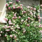 Klimrozen en ramblers voor een verticaal accent in de tuin