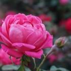 Bodembedekkende rozen, stamrozen en heesterrozen