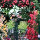 Rozenkwekers, rozentuinen en rozenfestivals