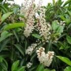 Prunus soorten geschikt als groene haag