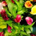 Calla (Aronskelk, Zantedeschia): plant voor binnen en buiten