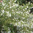 Bonenkruid (Satureja hortensis) en (Satureja Montana)