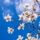 Tulpenboom of Magnolia