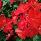 Begonia of Begoniaceae, een hele zomer bloemenvreugde