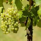 Een druivenstruik planten, snoeien en onderhouden