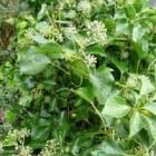 Hedera helix arborescens; verzorging en algemene informatie