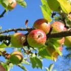 Veel voorkomende schimmelziekten bij appelbomen