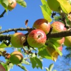 Wormstekigheid en bladvraat bij appelbomen