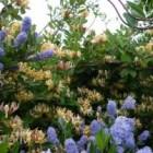 Kamperfoelie of Lonicera: verzorging en bloei