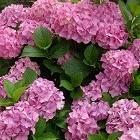 De hortensia ofwel de hydrangea plant bloeit in de zomer