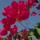 Bougainvillea als plant staat mooi op een Nederlands terras