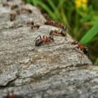 Mieren bestrijden en preventief weren uit huis en tuin