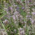 Lavendel kopen en gebruiken voor veel doeleinden