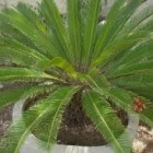 Cycas revoluta kan op het terras of als kamerplant