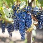 Druiven als plant kweken tot druivenrank kun je in de tuin