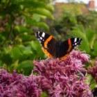 Eupatorium, een echte vlinder trekker