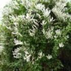 Bruidssluier, een snel groeiende bloeiende klimplant