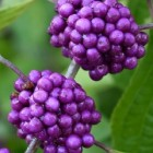 Callicarpa (schoonvrucht)