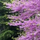Cercis Siliquastrum (judasboom)