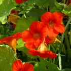 Eetbare planten in de siertuin
