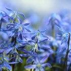Blauw bloeiende planten in de tuin