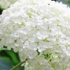 Wit bloeiende planten in de tuin