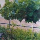 Dakbomen zorgen voor schaduw in de tuin