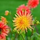 Zomerbloeiende bloembollen; Dahlia