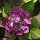 Zomerbloeiende struiken: Hydrangea of Hortensia
