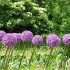 Zomerbloeiende bloembollen: Allium of Sierui