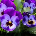 Boeiende bloemenweetjes - welke bloemen zijn eetbaar?