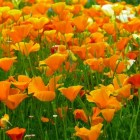 Oranje bloeiende planten in de tuin