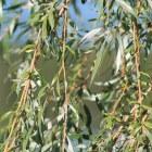 Grijsbladige planten geven de tuin een bijzondere sfeer