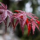 Rode bladeren geven de tuin een mysterieuze sfeer