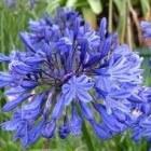 Blauwe planten voor de tuin
