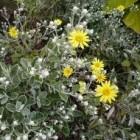 Planten met zilverkleurig of grijsgroen blad