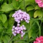 Paars bloeiende vaste planten