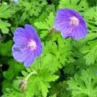 Geraniums: verschillende soorten
