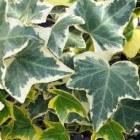 Klimplanten voor schaduw