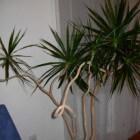 Drakenplant (Dracaena Marginata): verzorgen en stekken